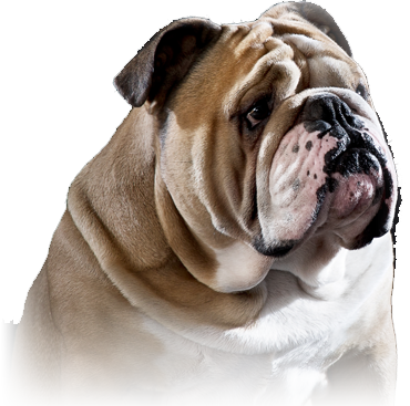 Bulldogs And Mastiffs Kennel