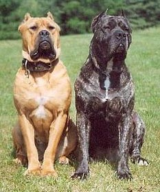 Australian Bandogge Mastiffs Old Bulldogs