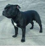 Staffordshire Bull Terriers - Old Bulldogs