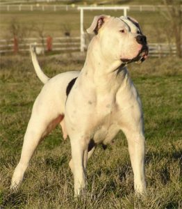 Hybrid American Bulldogs - Old Bulldogs